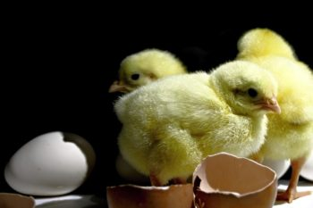 鶏に次亜塩素酸水で対策